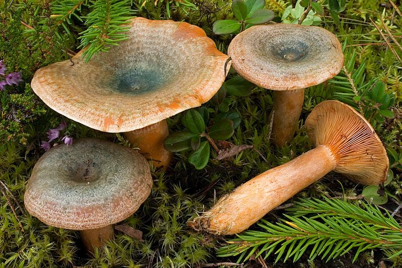 грибы рыжики съедобные фото