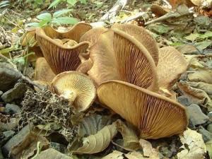 ольховка гриб фото